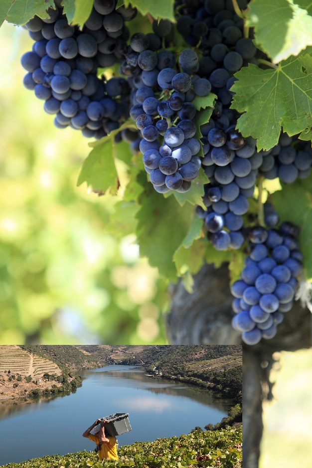 Red wine grapes growing in a vineyard in the Cotes Du Rhone region of southern France.